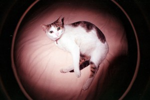 Peroni, a black, white & brown patchy cat, reclining on a bed. Fisheye view!